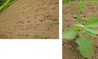 大豆生産畑